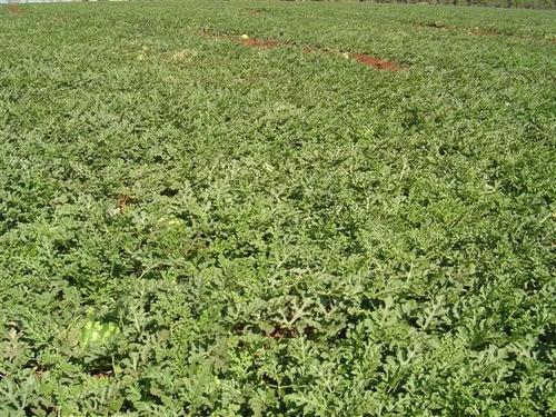 1000 sementes melancia híbrida