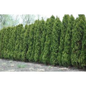 1000 Sementes P Mudas Cedrinho Cerca Viva Muro Verde
