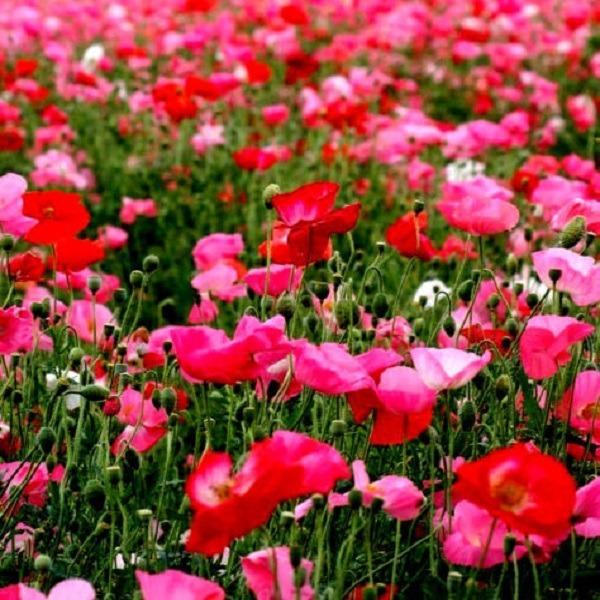 1 000 semillas amapolas francesa rosadas y rojas orgánicas
