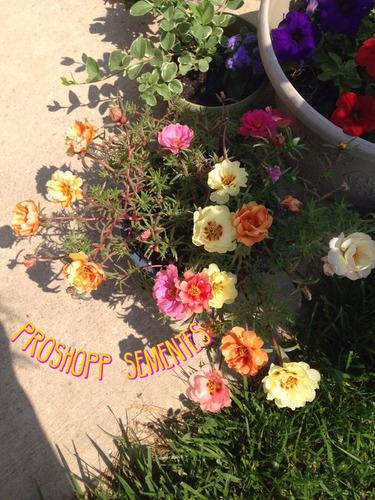 1070 sementes  flor onze horas dobrada sortida promoçao!!
