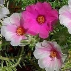 1100 sementes de flor onze horas # imperdivel# envio gratis