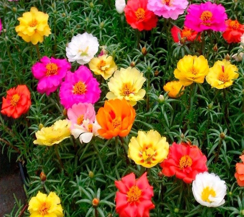 1100 sementes de flor onze horas + pronta entrega