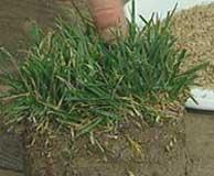 1/2 kg semillas pasto de festuca arundinacea - festuca alta