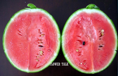 12 sementes mini melancia real + folheto como plantar