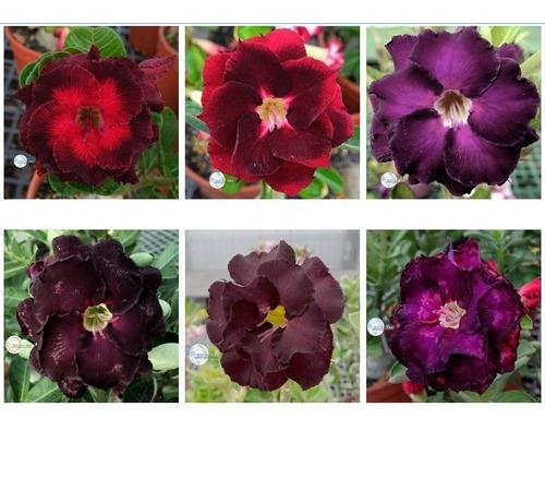 12 sementes mista de rosa do deserto dobrada