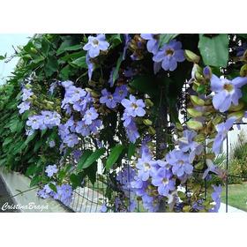 12 Sementes Tumbergia Trepadeira P/ Vasos E Jardins