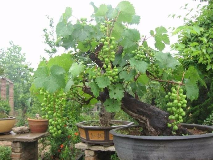 12 sementes uva bonsai folheto como plantar r 12 - Como cultivar bonsais ...