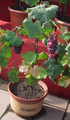 (12) sementes - uva bonsai + folheto como plantar!