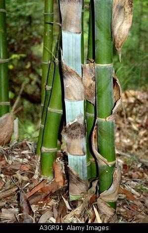 12 semillas de dendrocalamus strictus - bambu macho cod 1314