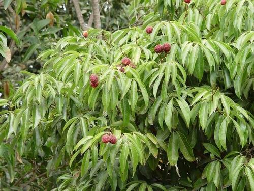 12 semillas de litchi chinensis - lichi, ciruela de china