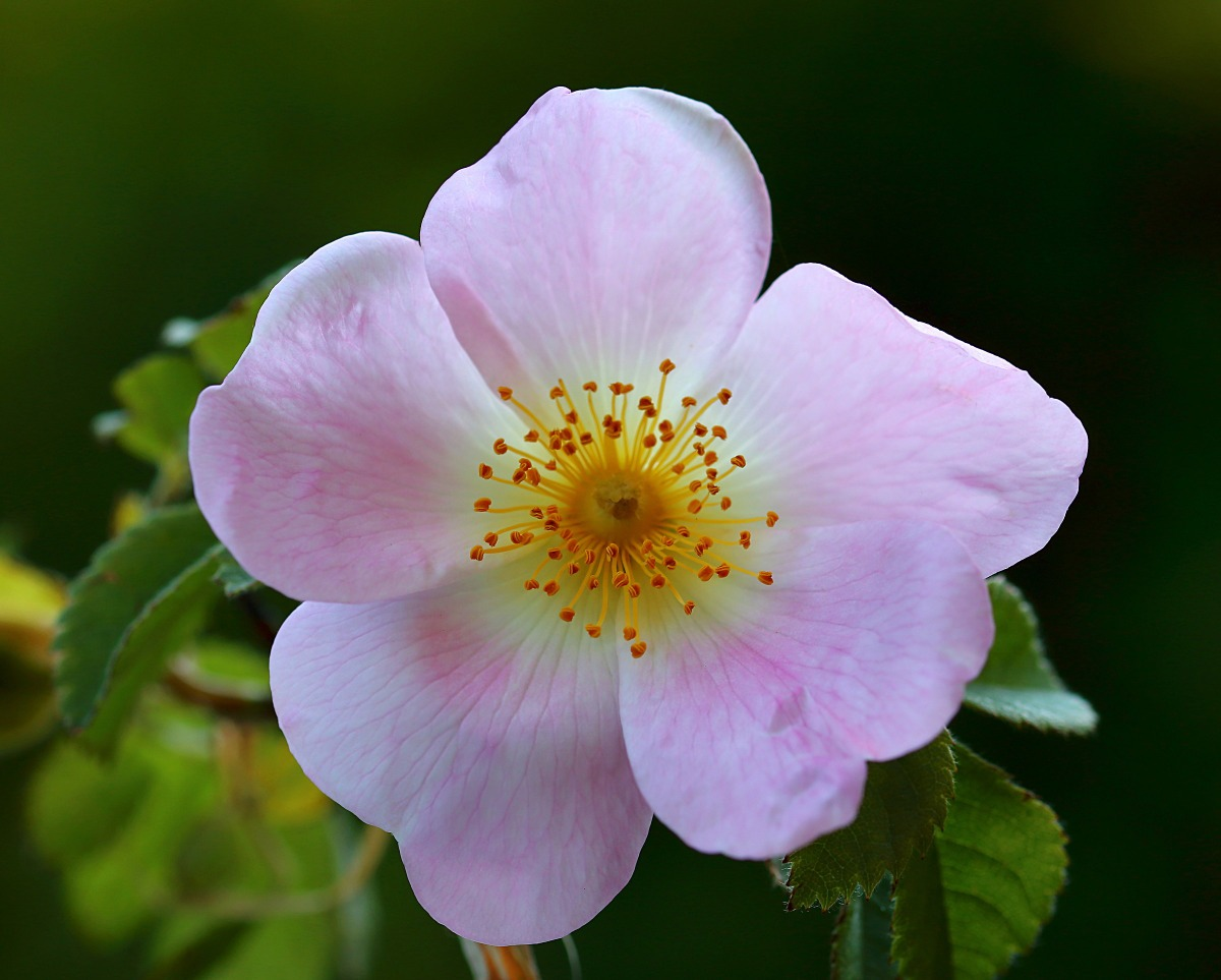 40 Semillas ROSA CANINA ROSA MOSQUETA Escaramujo Rosal silvestre flores