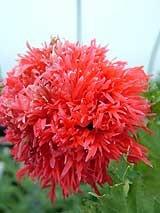120 sementes raras peonias poppies poppy peony jardim