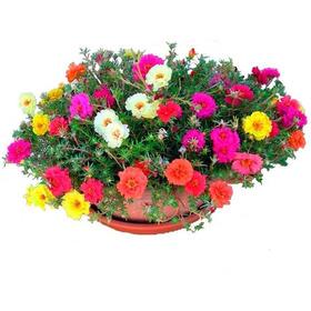 1200 Sementes Flor Onze Horas +pronta Entrega Frete Gratis