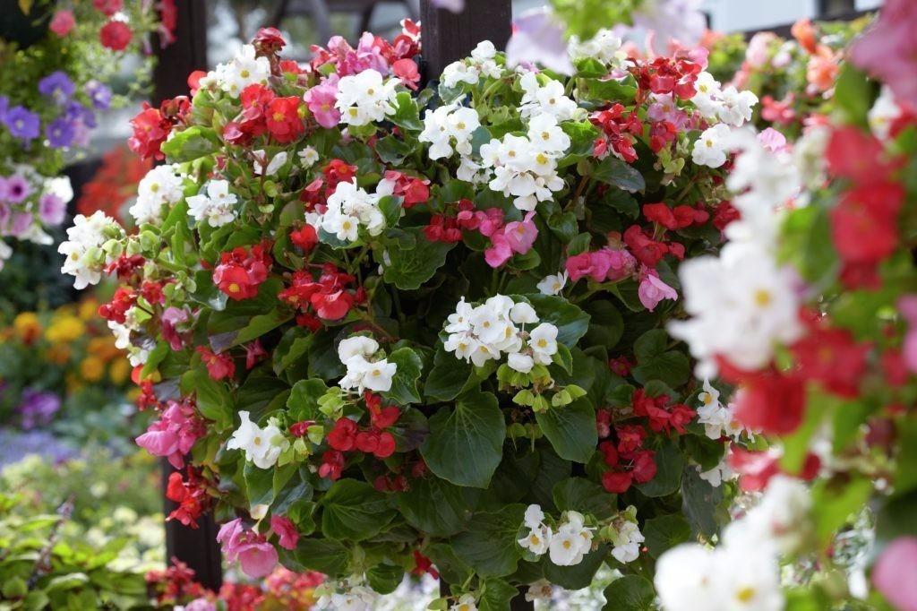 1400 sementes da flor begonia sempreflorida vaso jardim r 14 95 em mercado livre. Black Bedroom Furniture Sets. Home Design Ideas