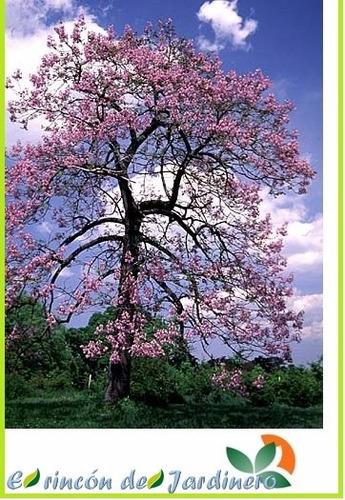 1400 semillas arbol paulownia elongata + instructivo y libro