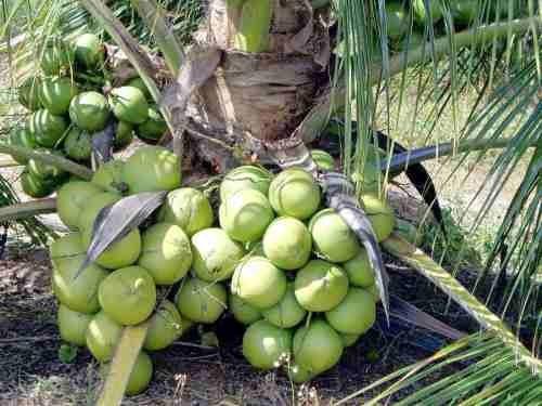 15 mudas coqueiro coco verde anao da bahia coco  promoção