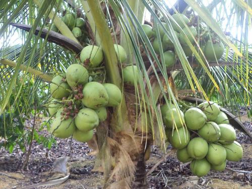 15 mudas de coqueiro coco anão verde (promoção)