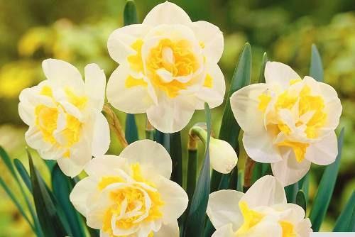 15 sementes de narciso raras exóticas várias cores*