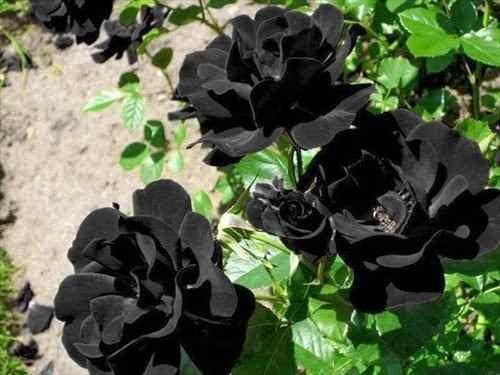 15 sementes de rosa black, negra, preta, rara e exótica