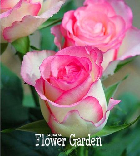 15 sementes de rosas verde amarela azul rosa e outras