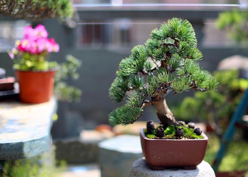 15 sementes pinheiro negro bonsai folheto como - Como cultivar bonsai ...