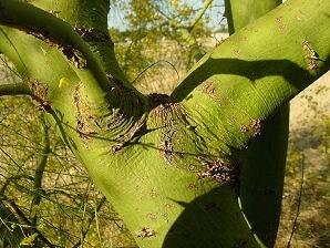 15 semillas arbol espino de jerusalen (parkinsonia aculeata)