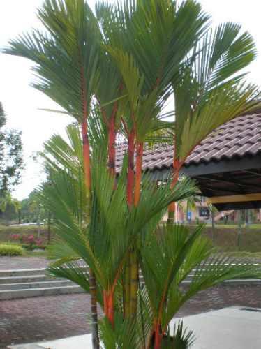 15 semillas de cyrtostachys blume - palma wax codigo 1320
