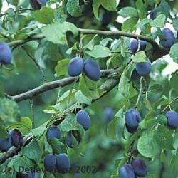 15 semillas de prunus domestica - ciruelo japones cod. 977
