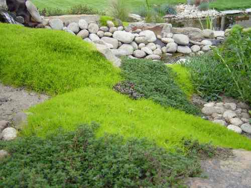 15 semillas de sagina subulata - musgo irlandes codigo 66