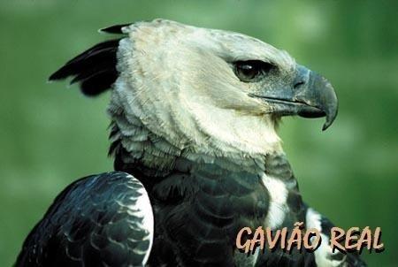 150 cantos de pássaros juriti curió cacatua canário sabiá p0