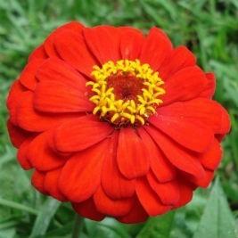 150 sementes de zinia flor de dalia gigante p/ vasos e jardi