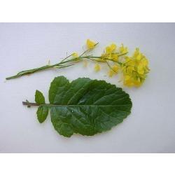 150 semillas de brassica juncea (mostaza) codigo 217
