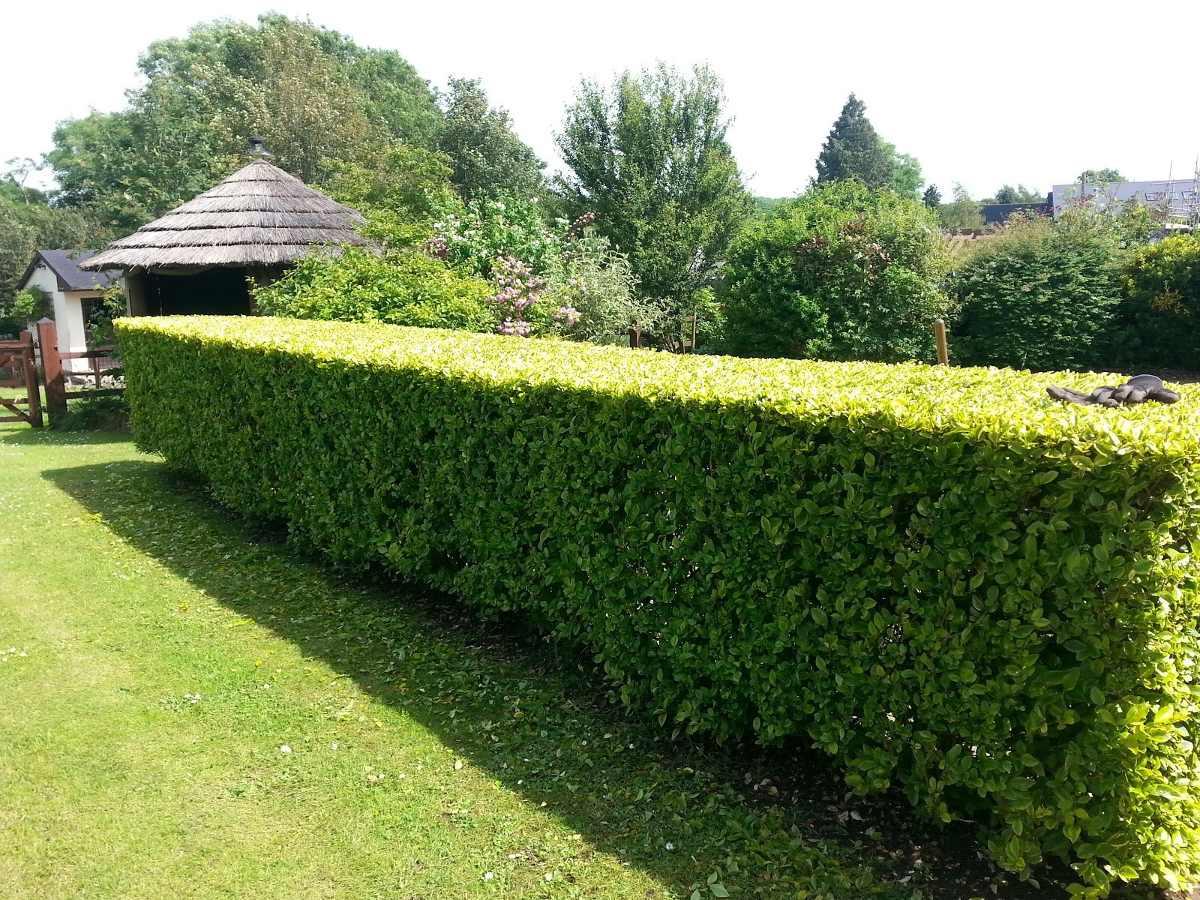 150 semillas de limoncillo para cercas vivas instructivo - Cercas de jardin ...