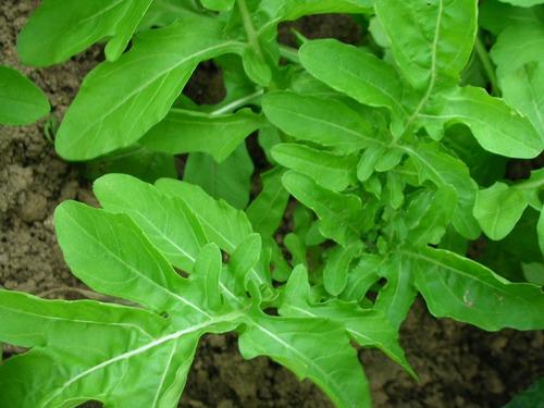 150 semillas rúcula del país orgánicas