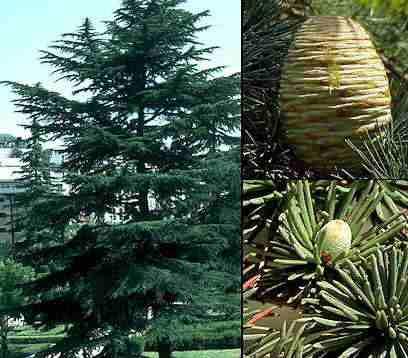 CEDRO LIBANO cedrus libani IDEAL BONSAI  100 semillas frescas
