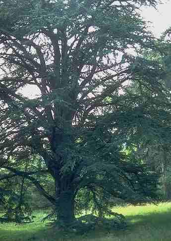 16 semillas de cedrus libani - cedro del libano codigo 937