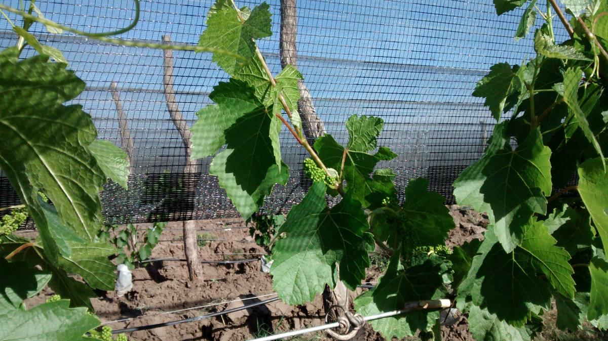 16has de viñedos de uvas finas en produccion , imperdible