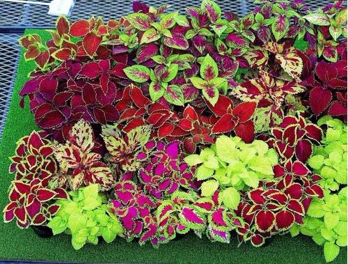 1700 semente de coleus java arco íris sortido + frete grátis