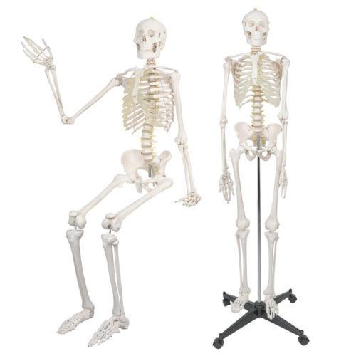 180cm Anatomía Humana Anatomía Esqueleto Modelo Médico + ...