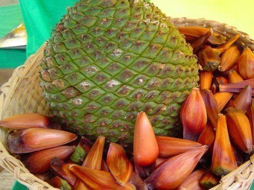 1kg pinhão orgânico,semente o melhor do paraná