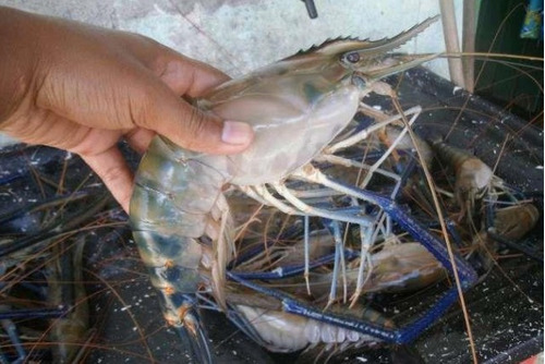 2 curso criação d camarão gigante da malásia+tilapia15aposti