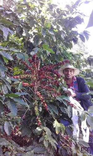 2 kilogramos semilla de café  resistente a roya y nematodos