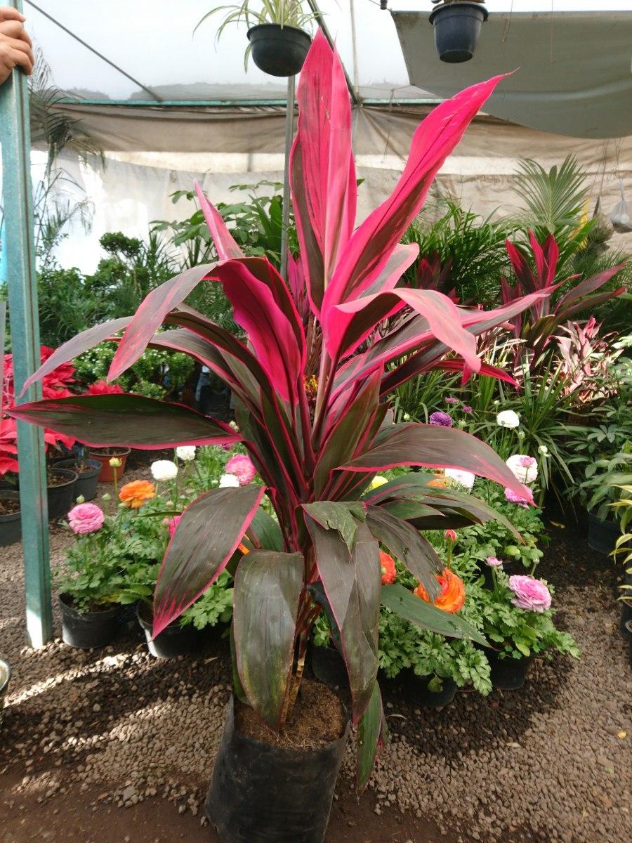 2 plantas de interior mu eca cordyline en mercado libre - Plantas de interior duraderas ...