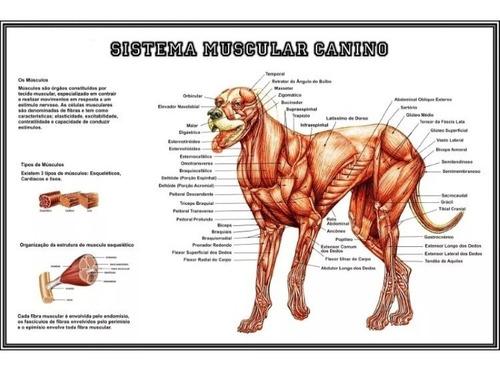 2 posters 65x100cm anatomia do cachorro medicina veterinária
