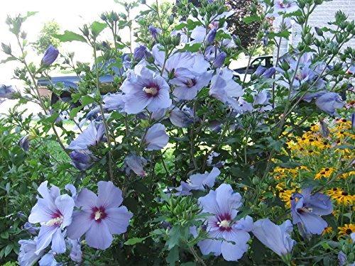 20 Bluebird Hardy Hibiscus Seeds 64900 En Mercado Libre