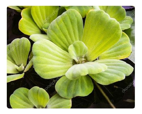 20 mudas alface dágua aquaponia - envio imediato