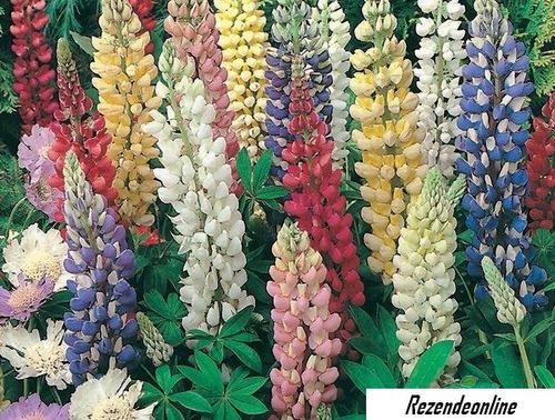 20 sementes da flor lipinus hybridus sortidas belíssima!!