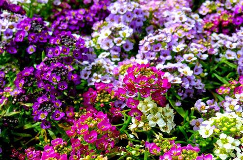 20 sementes de alisso easter bouquet coloridos allysum flor