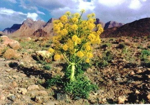 20 sementes de assafétida - ferula assa-foetida erva flor
