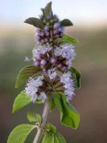 20 sementes de hortelã de marrocos mentha gattefossei erva